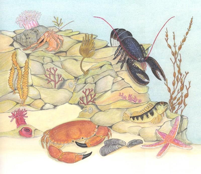 Ocean Animals Illustrations Rock Pool